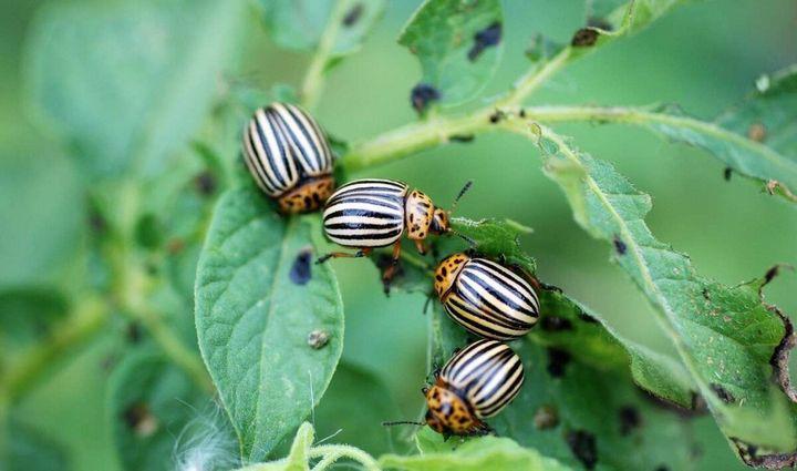 3 Легких способа защиты картофеля от колорадского жука 4