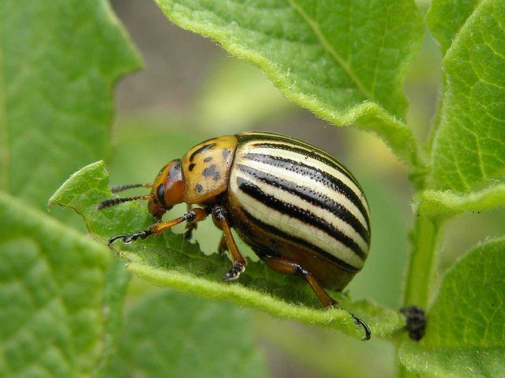 3 Легких способа защиты картофеля от колорадского жука 5