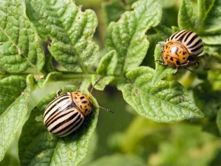 3 Легких способа защиты картофеля от колорадского жука 2