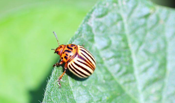 3 Легких способа защиты картофеля от колорадского жука 3