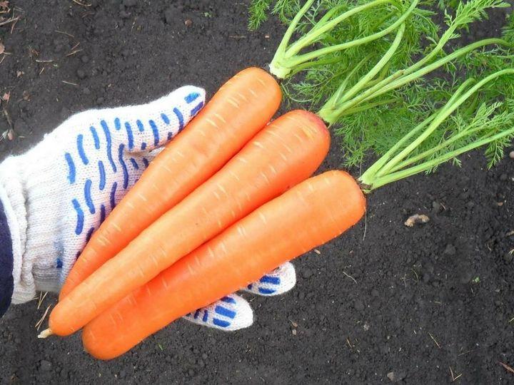 5 Простых способов вырастить гладкую, ровную и красивую морковку 3