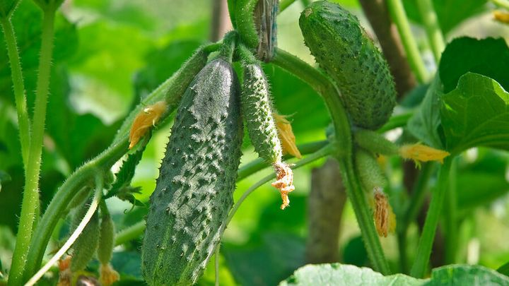 Чем подкормить огурцы во время цветения? 1