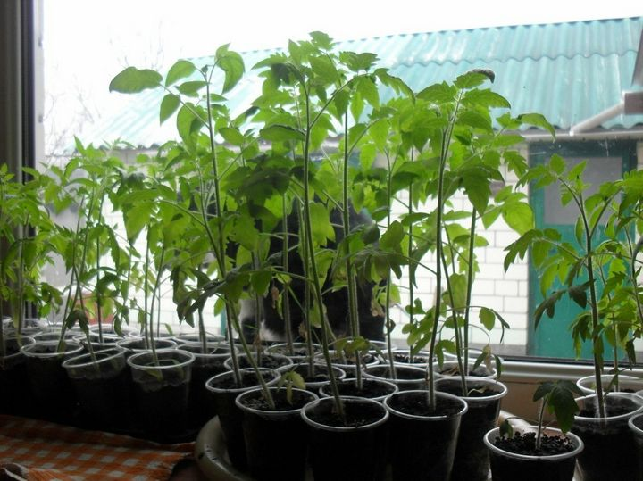 Что делать, чтобы спасти вытянувшуюся рассаду помидоров? 3