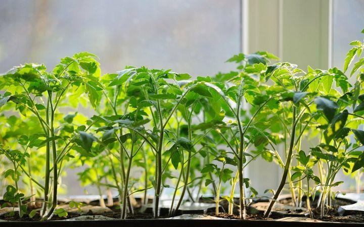 Что делать, чтобы спасти вытянувшуюся рассаду помидоров? 1