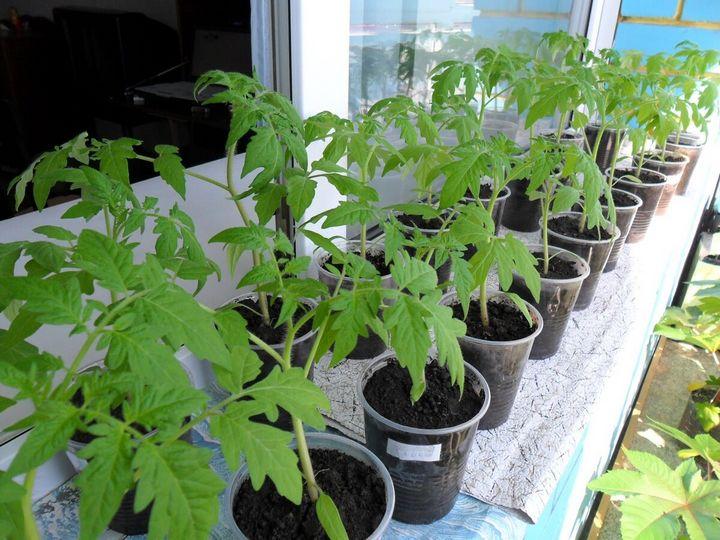 Что делать, чтобы спасти вытянувшуюся рассаду помидоров? 5