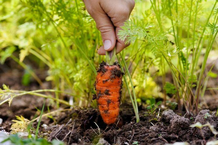 Что посадить рядом с морковью? 6