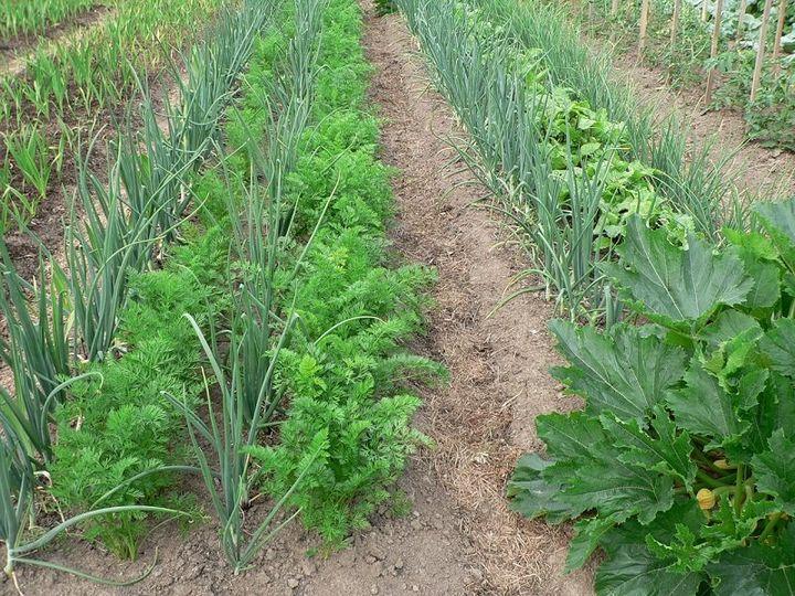 Что посадить рядом с морковью? 4