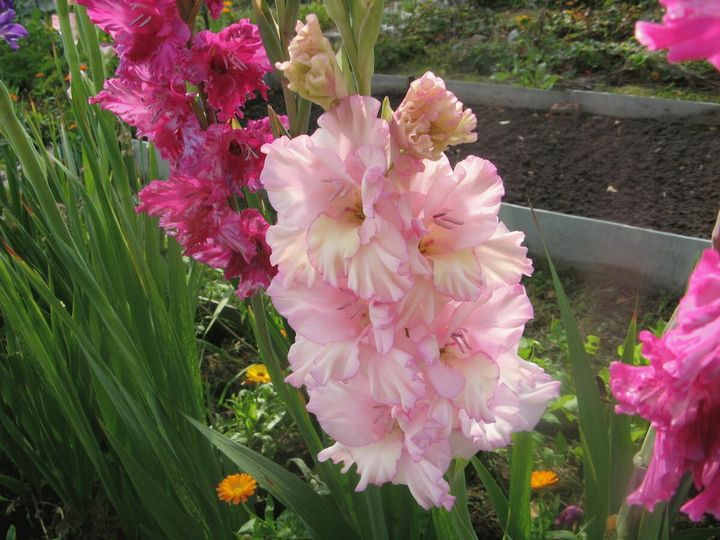 Цветы, которые высаживают в мае 13