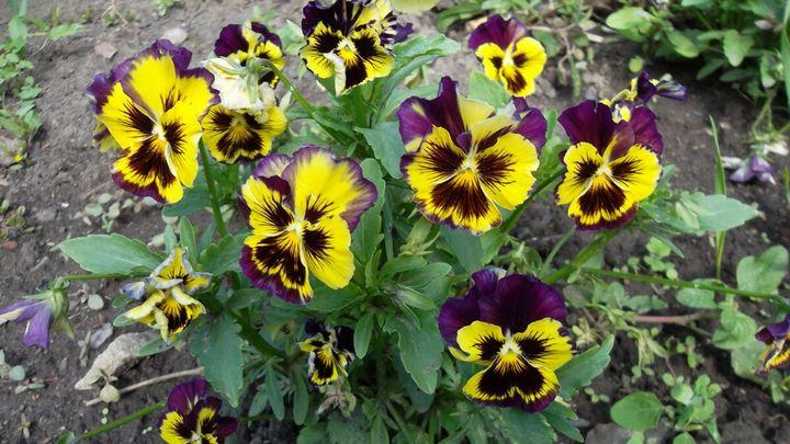Цветы, которые высаживают в мае 5