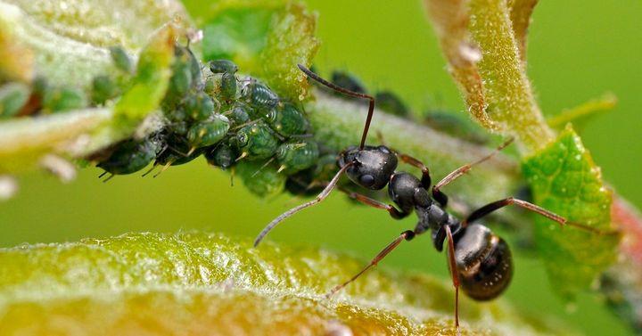 Дегтярное мыло от тли и муравьев 1