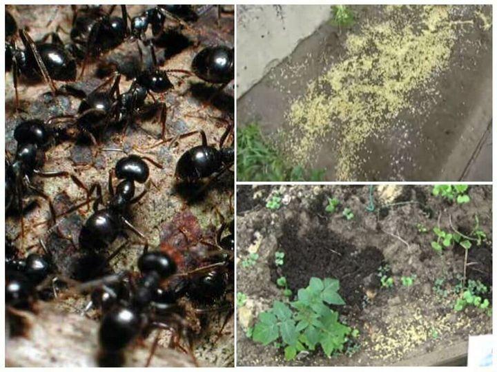 Избавляемся от муравьев на даче быстро и практически без труда 3