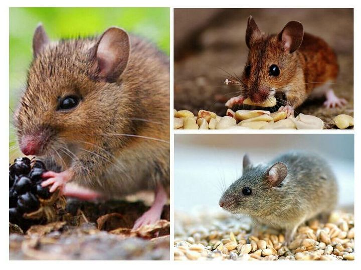 Эффективный и простой метод избавления от мышей на даче 2