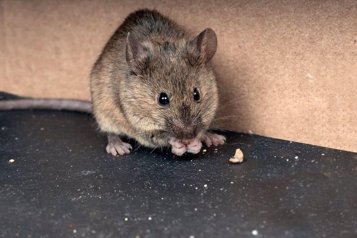 Эффективный и простой метод избавления от мышей на даче 5
