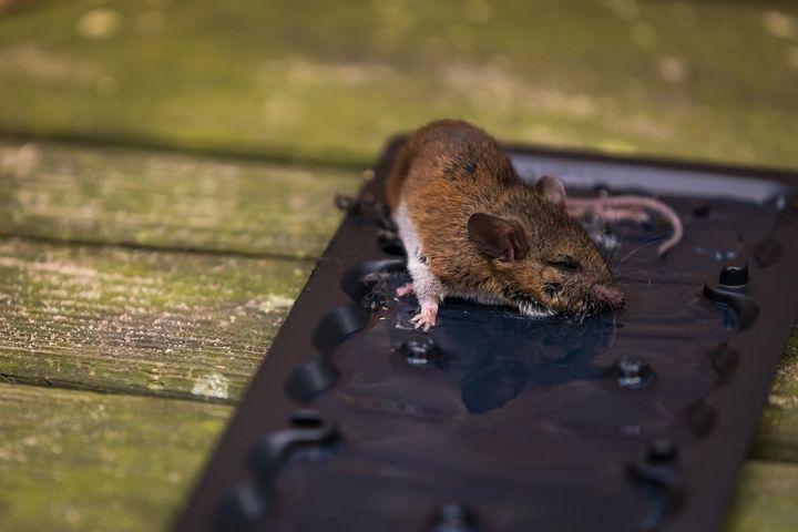 Эффективный и простой метод избавления от мышей на даче 7