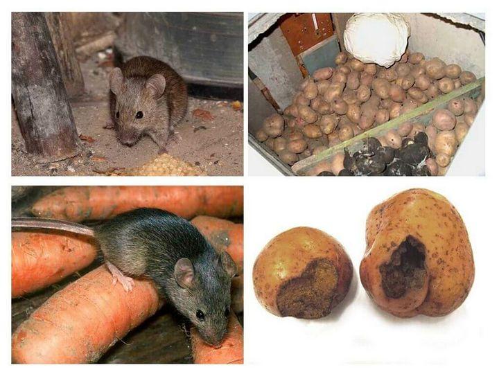 Эффективный и простой метод избавления от мышей на даче 4