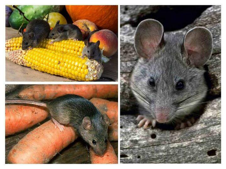 Эффективный и простой метод избавления от мышей на даче 3