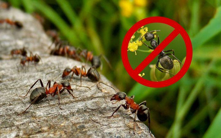 Как избавиться от муравьев на дачном участке? 1