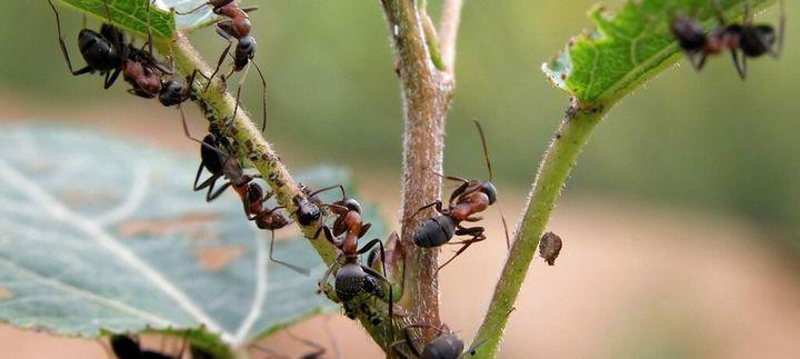 Как избавиться от муравьев навсегда? 2