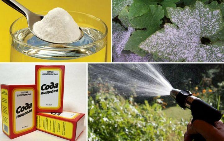 Как избавиться от тли и поправить кислотность в почве с помощью пищевой соды 2