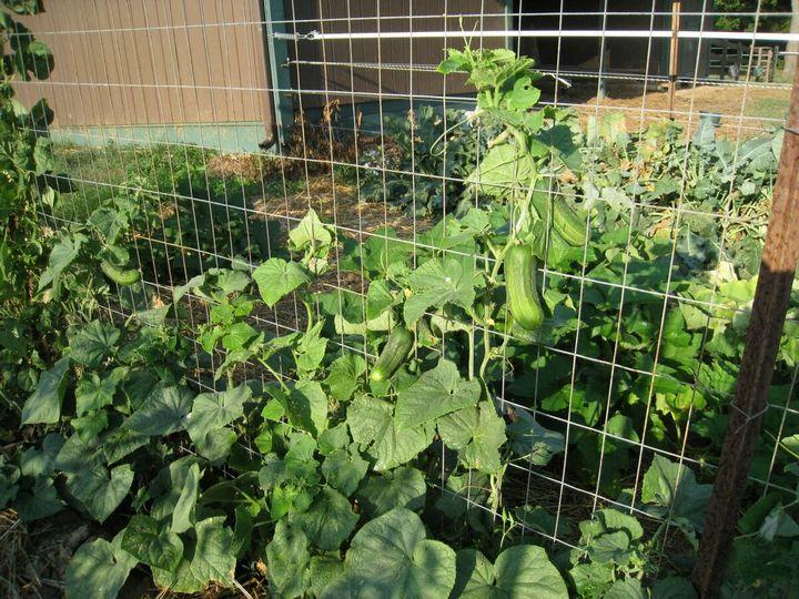 Как избавиться от тли и поправить кислотность в почве с помощью пищевой соды 8