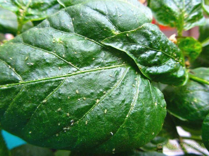 Как избавиться от тли и поправить кислотность в почве с помощью пищевой соды 7