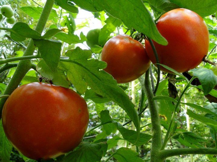 Как избавиться от тли и поправить кислотность в почве с помощью пищевой соды 10