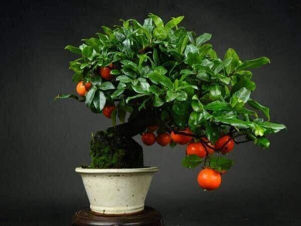 Как осуществляют выращивание хурмы из косточки в домашних условиях 6