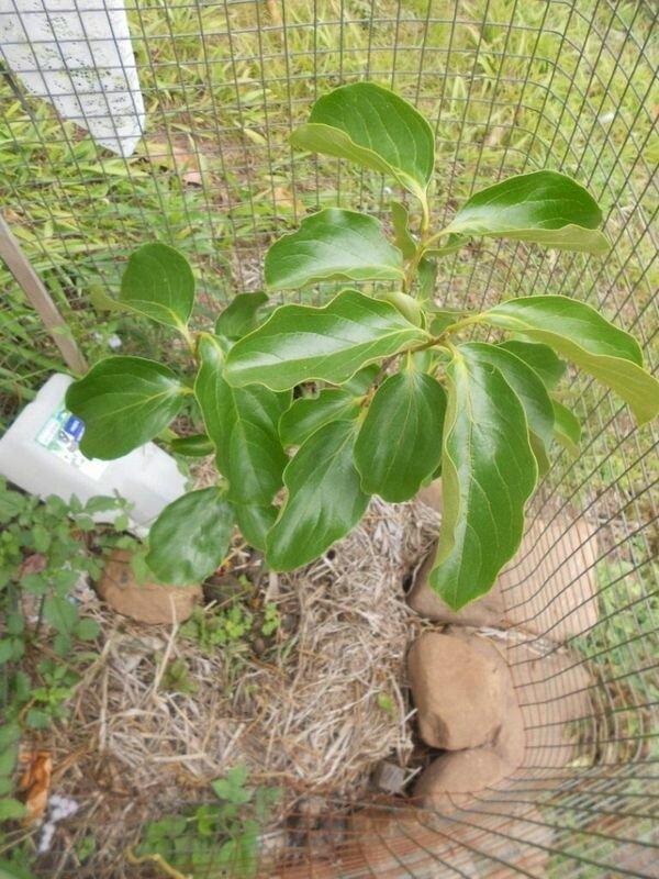 Как осуществляют выращивание хурмы из косточки в домашних условиях 5