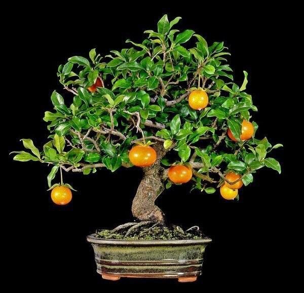 Как осуществляют выращивание хурмы из косточки в домашних условиях 4