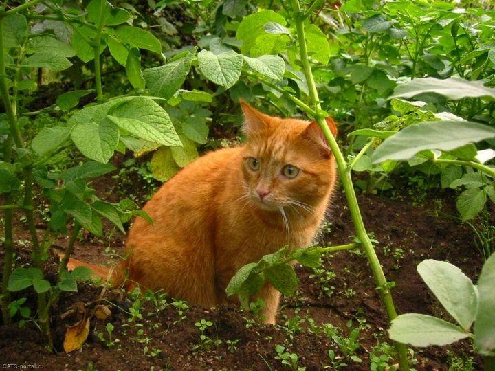 Как отвадить мурлык от огородных грядок? 2