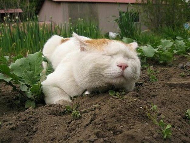 Как отвадить мурлык от огородных грядок? 3