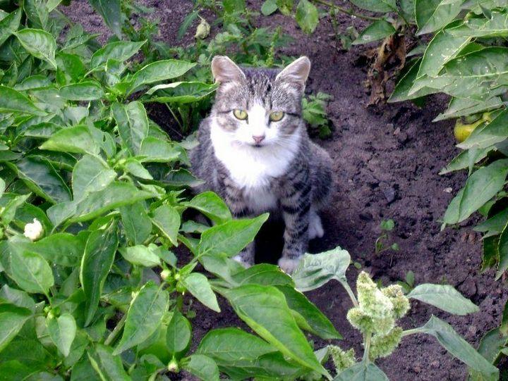 Как отвадить мурлык от огородных грядок? 8