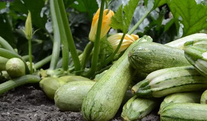 Как получить богатый урожай кабачков? 3