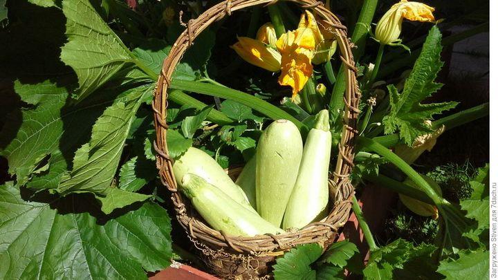 Как получить богатый урожай кабачков? 4