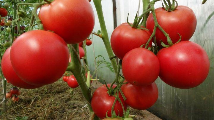 Как получить вкусные помидоры? 2