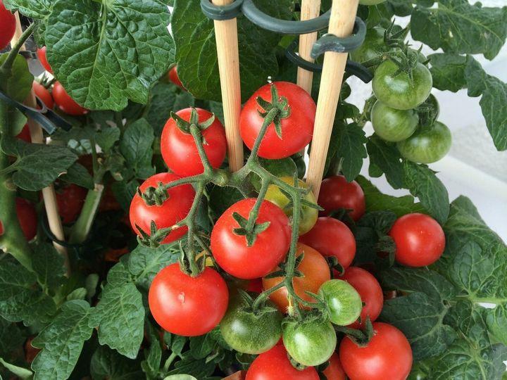 Как получить вкусные помидоры? 3