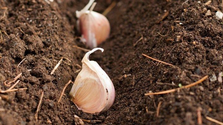 Как посадить и вырастить чеснок на приусадебном участке? 1