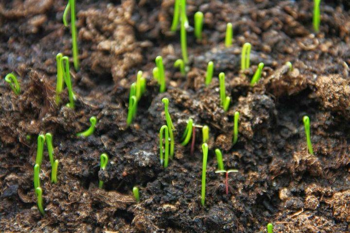 Как посеять лук-порей на рассаду 6