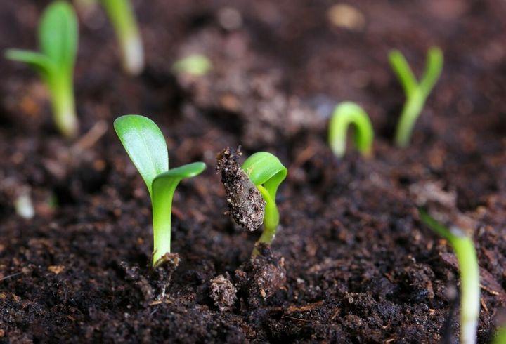 Как посеять лук-порей на рассаду 5