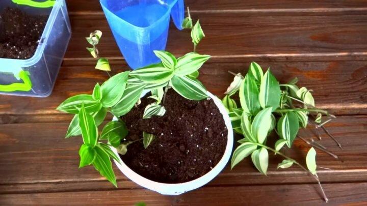 Как растет и размножается традесканция комнатная 4
