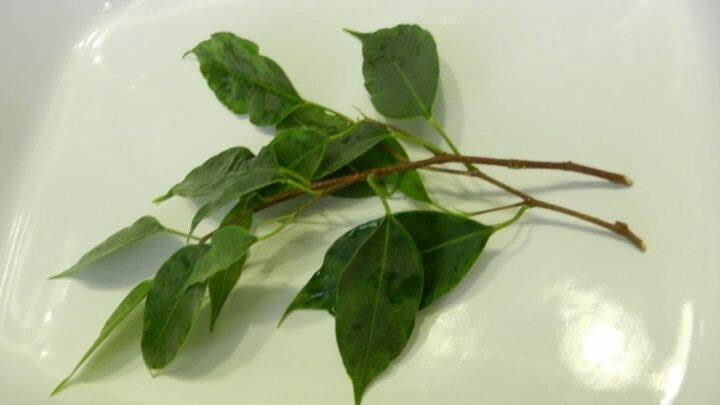 Как размножить и рассадить фикус в домашних условиях 3