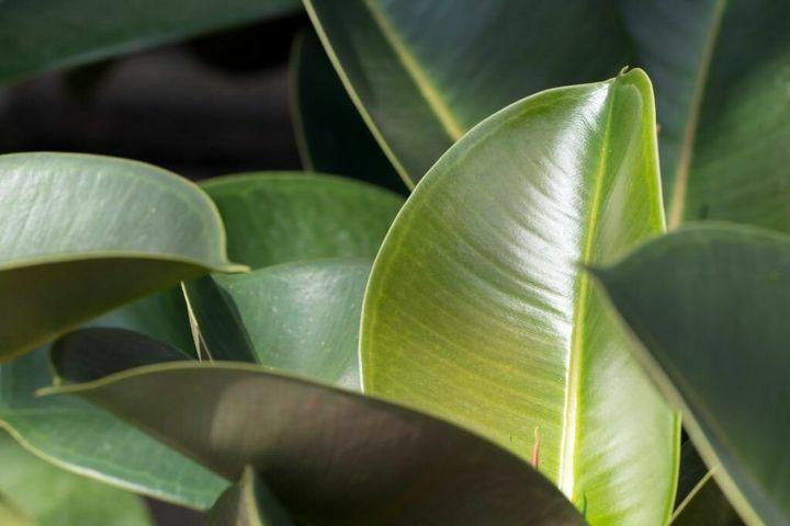 Как размножить и рассадить фикус в домашних условиях 1