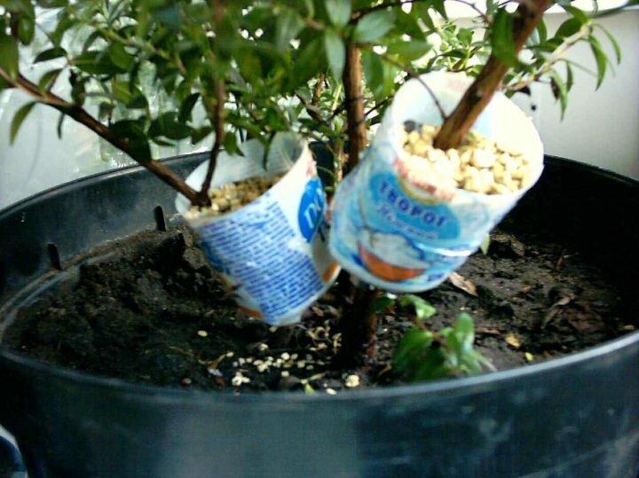 Как размножить и рассадить фикус в домашних условиях 4