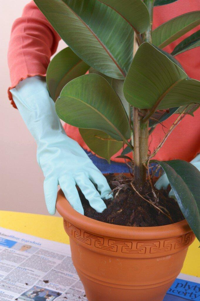 Как размножить и рассадить фикус в домашних условиях 5