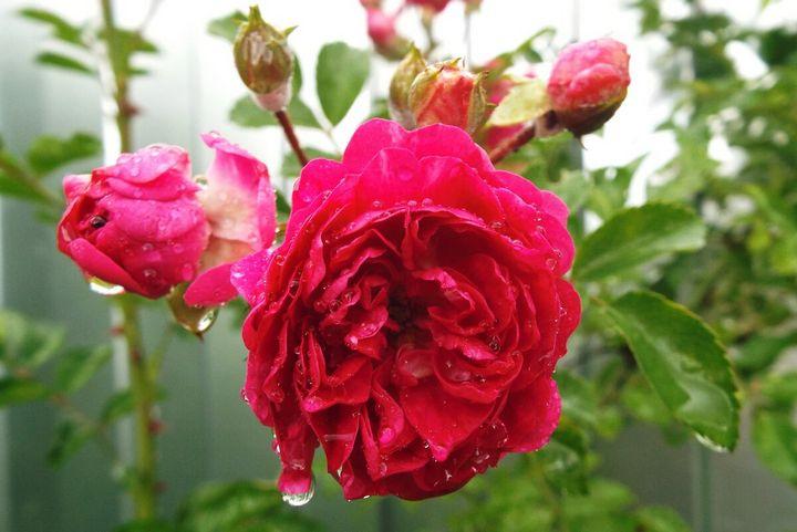 Как ухаживать за плетистыми розами? 1