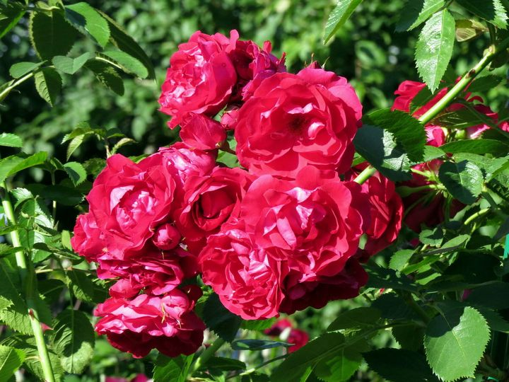 Как ухаживать за плетистыми розами? 4
