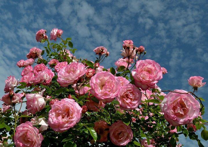 Как ухаживать за плетистыми розами? 3