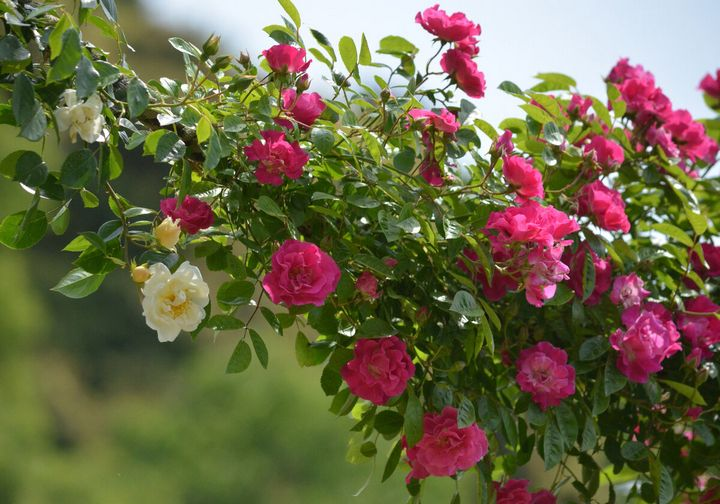Как ухаживать за плетистыми розами? 2