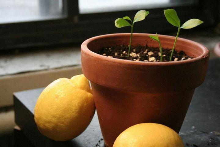 Как вырастить лимон дома из косточки? 1