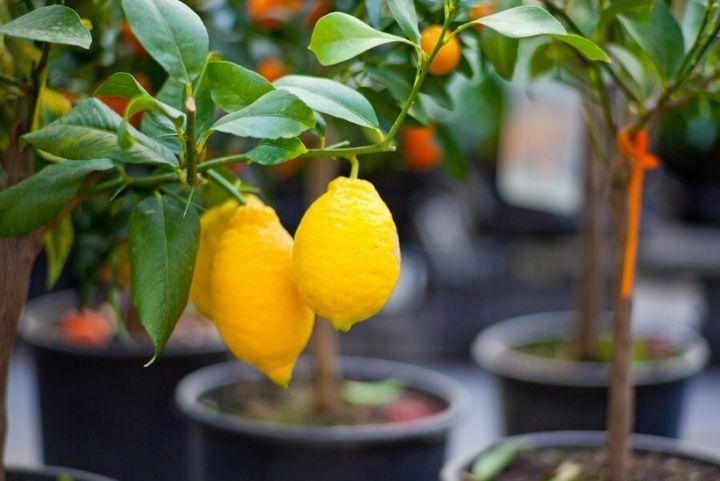 Как вырастить лимон дома из косточки? 4